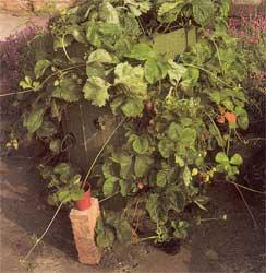 сорта клубники для выращивания на защищенном грунте, сорта для защищенного грунта