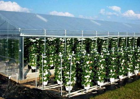 Сорта клубники для выращивания